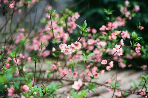Chọn mua cây cảnh chưng trong nhà ngày Tết đã trở thành một nét văn hóa bao đời nay của người Việt. Ảnh minh họa (nguồn Internet)