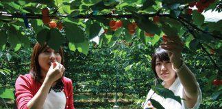 Lạc vào vương quốc trái cây Yamanashi