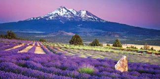 Nồng nàn mùa hoa lavender tại công viên Oishi