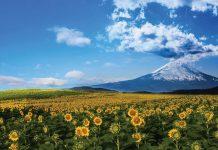 Cơ hội duy nhất mua tour charter đi Nhật trong mùa hoa hướng dương