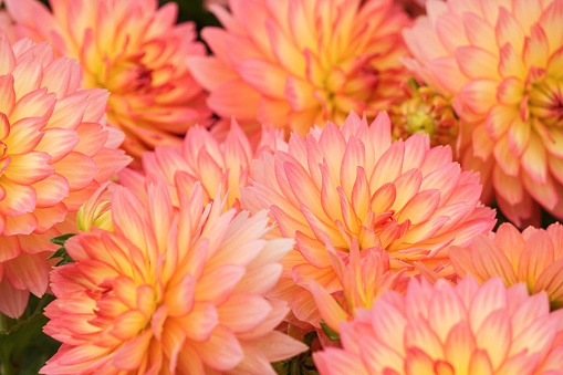 Close-Up Of Coral Chrysanthemums