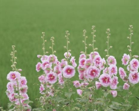 Hollyhock flowers (Alcea rosea) in field, close-up