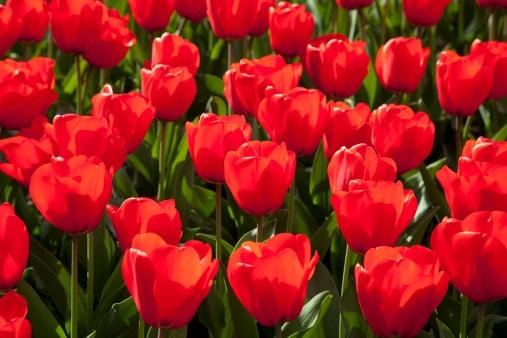 Europe, Germany, North Rhine Westphalia, View of red tulip flower bed